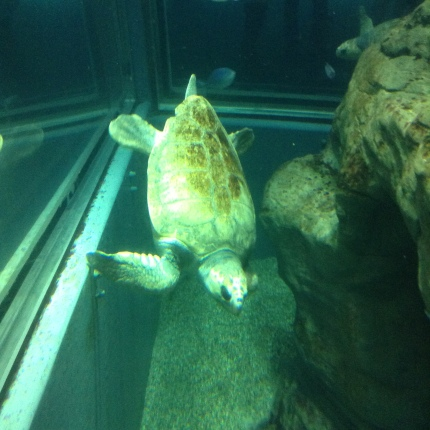 I love the design of this aquarium. Sea Turtle at the Osaka Aquarium